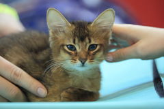 Abyssinian kitten and hands royalty free stock photography