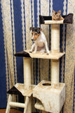Abyssinian kitten and Jack Russell terrier on cat Climbing frame Royalty Free Stock Images