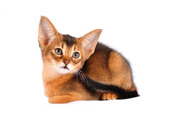 Abyssinian kitten liyng portrait isolated on white Stock Photos