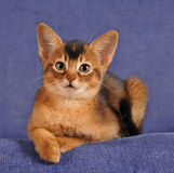 Abyssinian kitten liyng on sofa portrait. Looking at camera Royalty Free Stock Photography
