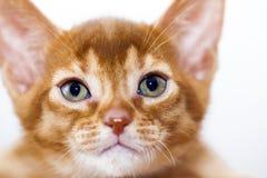 Abyssinian kitten Stock Photography