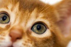 Abyssinian kitten Royalty Free Stock Image