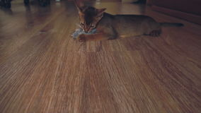 Abyssinian kitten playing stock footage