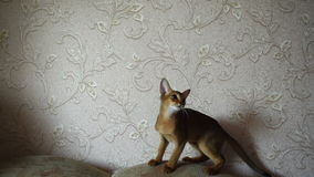 Abyssinian kitten playing stock video footage