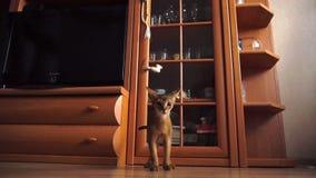 Abyssinian kitten playing stock video