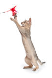 Abyssinian kitten plays Royalty Free Stock Image