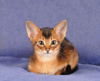 Abyssinian kitten portrait looking at camera Royalty Free Stock Images