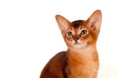 Abyssinian kitten portrait on white Stock Photo