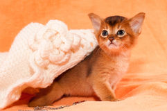 Abyssinian kitten portrait Royalty Free Stock Photography
