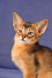 Abyssinian kitten ruddy color portrait Royalty Free Stock Images
