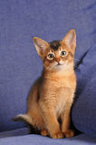 Abyssinian kitten ruddy color portrait Royalty Free Stock Photos