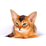 Abyssinian kitten ruddy color portrait Stock Photo
