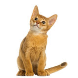 Abyssinian kitten sitting, looking up, alert, 3 months old Stock Photo
