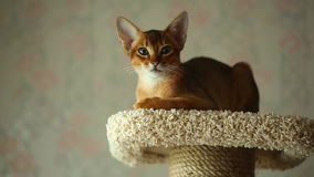 Abyssinian kitten stock video footage