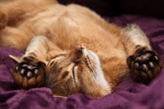 The Abyssinian kitten sleeps. On a back Stock Photo