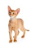 Abyssinian kitten Royalty Free Stock Photo