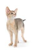Abyssinian kitten Stock Photos