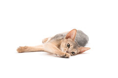 Abyssinian kitten Royalty Free Stock Photos
