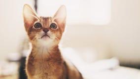 Abyssinian kitten wild color indoor portrait. Shallow focus Stock Images