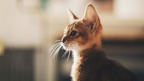 Abyssinian kitten wild color indoor portrait. Shallow focus Royalty Free Stock Image