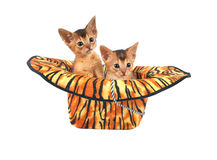 Abyssinian kittens in hat isolated Royalty Free Stock Photography