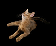 Abyssinian kitty Royalty Free Stock Photos