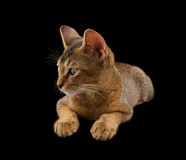 Abyssinian kitty Royalty Free Stock Photography