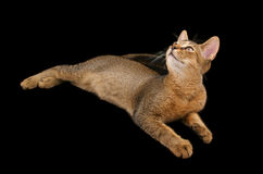 Abyssinian kitty Royalty Free Stock Photo