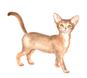 The Abyssinian kitty. Abyssinian kitty. Image of a thoroughbred cat. Watercolor painting Royalty Free Stock Photo