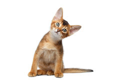 Abyssinian Kitty interest Looking up on Isolated White Background Royalty Free Stock Image