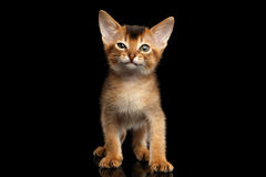 Abyssinian Kitty on Isolated Black Background Stock Images