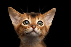 Abyssinian Kitty on Isolated Black Background Royalty Free Stock Image