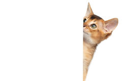 Abyssinian Kitty on Isolated White Background Stock Photos