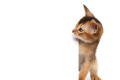 Abyssinian Kitty on Isolated White Background Royalty Free Stock Photography