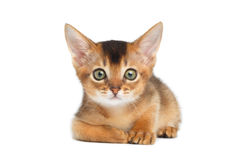 Abyssinian Kitty on Isolated White Background Stock Image