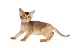 Abyssinian Kitty on Isolated White Background Royalty Free Stock Photo