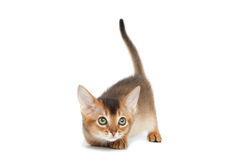 Abyssinian Kitty on Isolated White Background Stock Photography