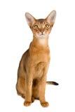 abyssinian kot Fotografia Royalty Free