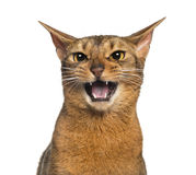 Abyssinian meowing (2 years old), isolated. On white Stock Photography