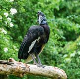 Abyssinian northern Ground Hornbill, Bucorvus abyssinicus strange bird royalty free stock image