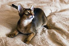 Abyssinian and red cat close up royalty free stock photo