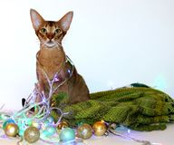 Abyssinian red cat sits with a garland around his neck. card for the new year, christmas stock photos