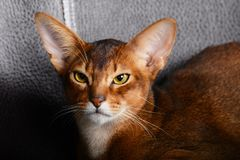 Abyssinian red cat lies royalty free stock photography
