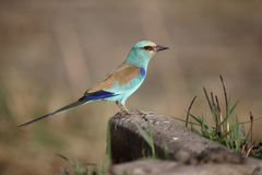 Abyssinian Roller, Coracias abyssinica Stock Photos