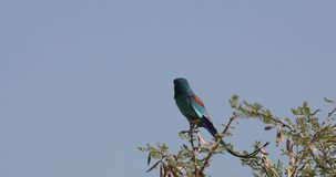 Abyssinian roller on tree top. Abyssinian roller, Coracias abyssinicus, is looking around perching on top of tree with clear blue sky background in Awash stock footage