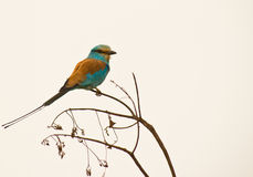 Abyssinian Roller in Gambia Royalty Free Stock Photography