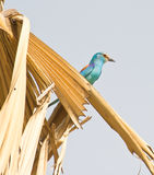 Abyssinian Roller on palm tree Royalty Free Stock Photo