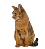 Abyssinian, sitting (2 years old), isolated Royalty Free Stock Photography