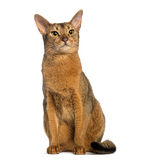 Abyssinian, sitting (2 years old), isolated Stock Image