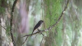 Abyssinian Slaty Flycatcher on Tree Branch. Abyssinian slaty flycatcher, Melaenornis chocolatinus, perches on tree branch in Wondo Genet, Ethiopia, Africa stock video